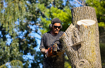 Man cutting tree with a chainsaw