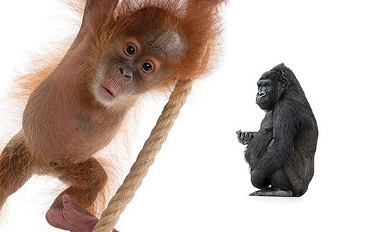 Baby orangutan and a gorilla