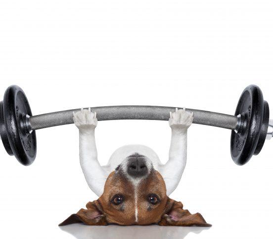 Dog lifting weights